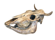 Skull of a cow Royalty Free Stock Images