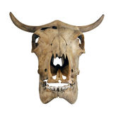 Skull of a cow Royalty Free Stock Image
