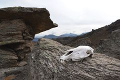 The skull of a cow lies on a stone fungus at an altitude of 3200 meters of Mount Elbrus. The concept of death and deserted places Stock Photo