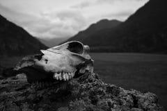 Skull. Cow skull on a rock royalty free stock photos