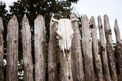 Skull of a cow set on wooden fence. Magic Royalty Free Stock Image