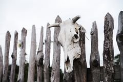 Skull of a cow set on wooden fence. Magic Stock Photo
