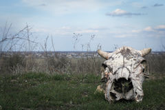 Skull of a cow in the wild Royalty Free Stock Photo