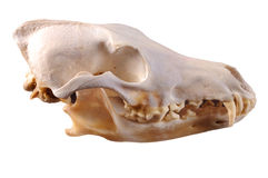 Skull of a coyote Stock Images
