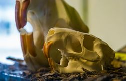 Skull of a coypu Myocastor coypus, rodent cranium with massive teeth royalty free stock photo