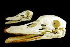 Skull (Cygnus olor ) and (Anas platyrhynchos) Royalty Free Stock Photo