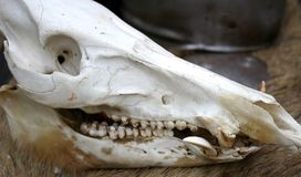 Skull of a dead animal in the far west Stock Images