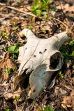 Skull of a dead animal with horns in forest Royalty Free Stock Photos