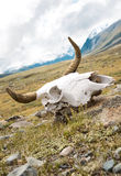 Skull dead bull Royalty Free Stock Photos