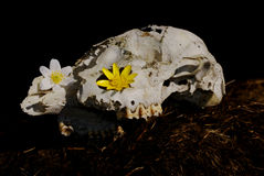 Skull of dead sheep with flowers. Upper part of dead sheep with row of teeth and flowers Stock Photo
