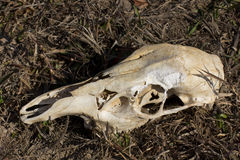 Skull of a deer Stock Photography