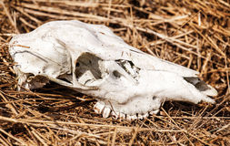 Skull of deer Royalty Free Stock Photography