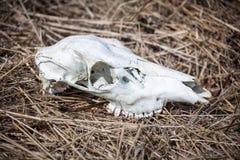 Skull of deer Royalty Free Stock Photo