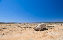 Skull in Desert Royalty Free Stock Images