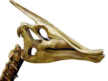 Skull of the dinosaur Stock Image