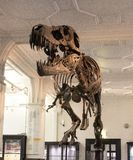 Skull dinosaur museum . Awesome art. stock photography