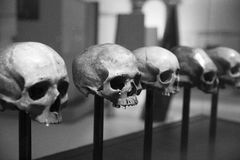 Skull display. Five humanoid skulls on display Stock Image