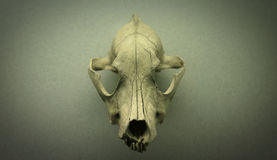 Skull of a dog Stock Photo