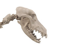 Skull of a dog isolated. Skull and upper neck of a dog.  Isolated on white Stock Photo