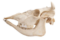 Skull of domestic cow Stock Images