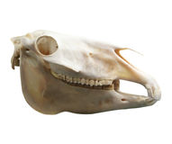Skull of domestic horse Royalty Free Stock Photo