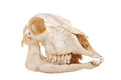 Skull of domestic horse Royalty Free Stock Images