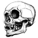 Skull Drawing line work vector Stock Images