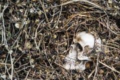 Skull on dried grass. Still life,Human skull on dried grass royalty free stock photo