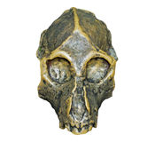 The skull of Dryopithecus ancient ape onwhite background. The skull of Dryopithecus ancient ape on the white background Royalty Free Stock Photography