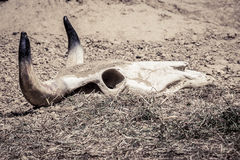 Skull in the dust. A cow's skull in dust and dirt stock images