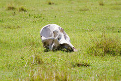 Skull of elephant. On grass Royalty Free Stock Images