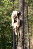 Skull of an elk Stock Photos