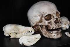 Skull Exhibit. A collection of various skulls Stock Photo