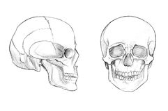 Skull (face and profile). Hand drawn medical illustration drawing with imitation of lithography: Skull (face and profile Stock Photography