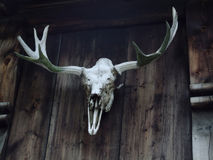 Skull of fallow deer Stock Image