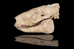 Skull fossil of mammal animal Stock Photo
