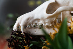Skull fox in a bouquet of flowers wilted sunflower bouquet. Stock Image