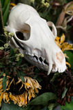 Skull fox in a bouquet of flowers wilted sunflower bouquet. Royalty Free Stock Photo