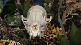 Skull fox in a bouquet of flowers wilted sunflower bouquet. Flowers on Halloween stock video