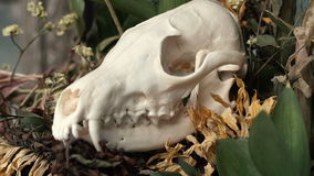 Skull fox in a bouquet of flowers wilted sunflower bouquet. Flowers on Halloween stock video footage