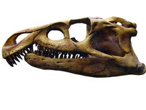 The skull of the giant reptile. Skull of the giant reptile Royalty Free Stock Photography