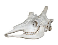 Skull of giraffe isolated on white Royalty Free Stock Image