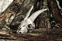 The skull of a goat on rotting logs close up Royalty Free Stock Image