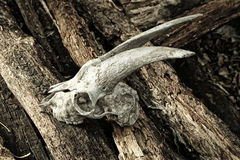 The skull of a goat on rotting logs close up. The skull of a goat on rotting logs Stock Photos