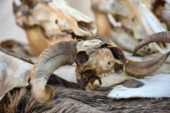 Skull goats Royalty Free Stock Photos