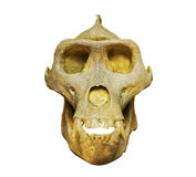 The skull of gorilla on white background Stock Photos