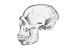 Skull gray Royalty Free Stock Images