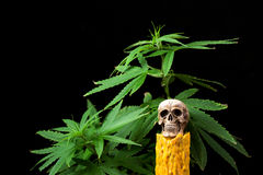 Skull and Green Cannabis Leaf on Black Background Royalty Free Stock Photo