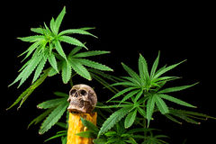 Skull and Green Cannabis Leaf on Black Background Stock Photography