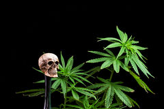Skull and Green Cannabis Leaf on Black Background Stock Photos